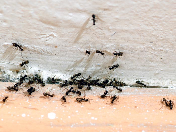 Keep Ants Outside With Strong Smells