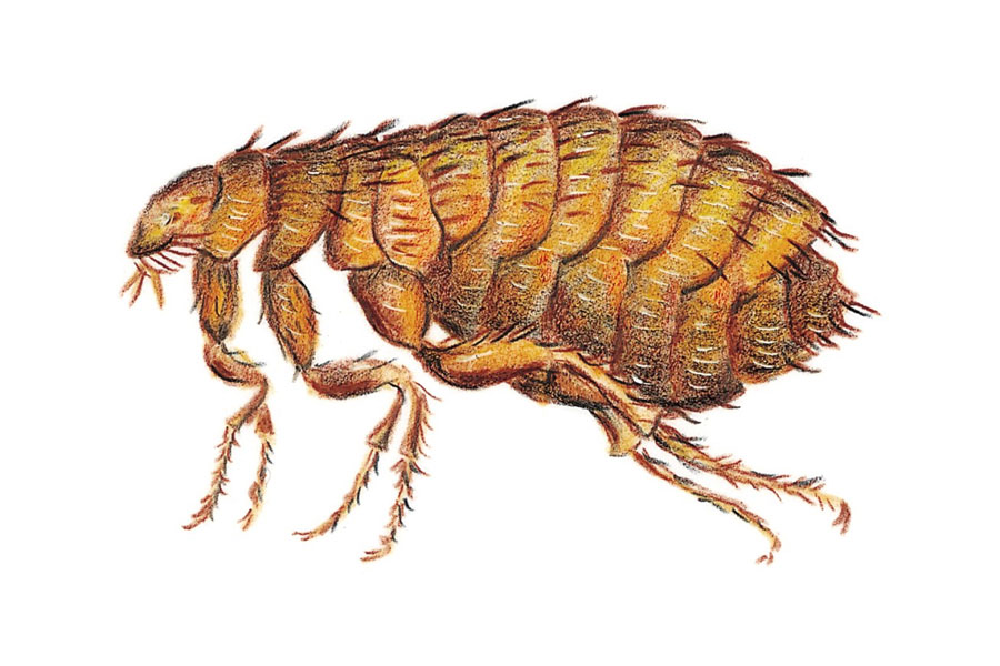 How To Get Rid Of Fleas At Home Appliances Online Blog