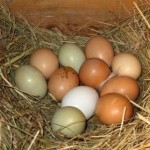 Eggs_with_nest