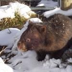 Vombatus_ursinus_(Wombat_in_snow)
