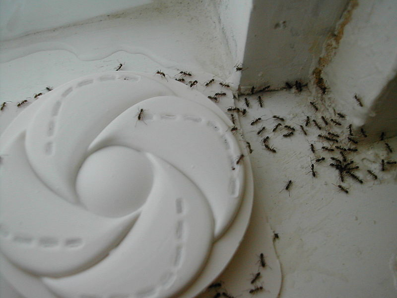 800px-Argentine_ants_accessing_trap